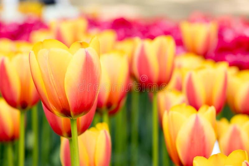 Multi Farbe der blühenden Tulpenblume auf Garten lizenzfreies stockbild