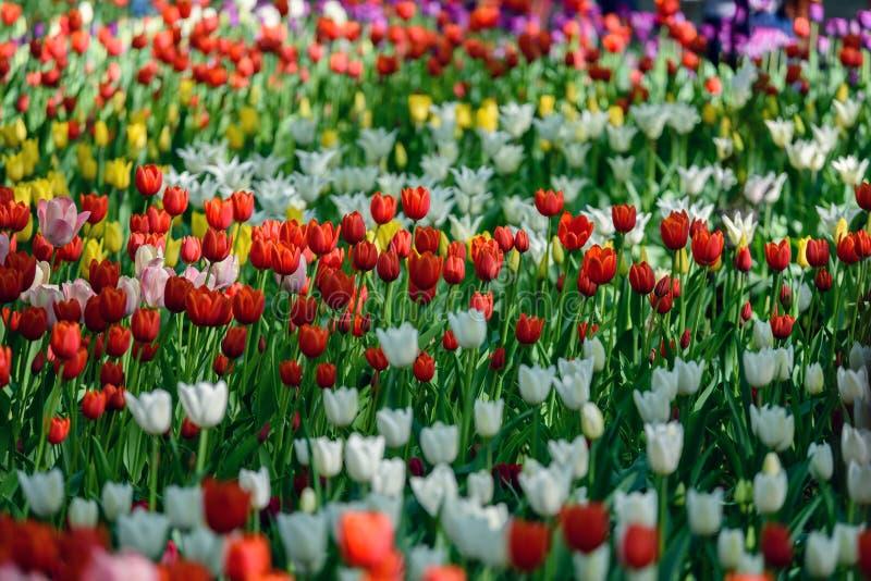 Multi Farbfeld mit rotem, gelbem, dunklem Veilchen und weißen Tulpen von Tulip Festival Bild nützlich für Webdesign und als a stockbilder