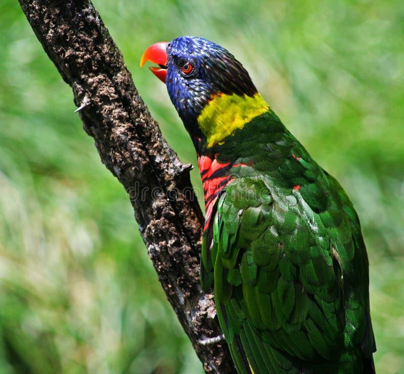 Multi farbiger Vogel lizenzfreie stockfotos