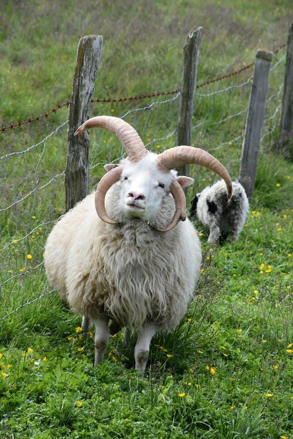 Multi gehoornde jacobschapen royalty-vrije stock fotografie