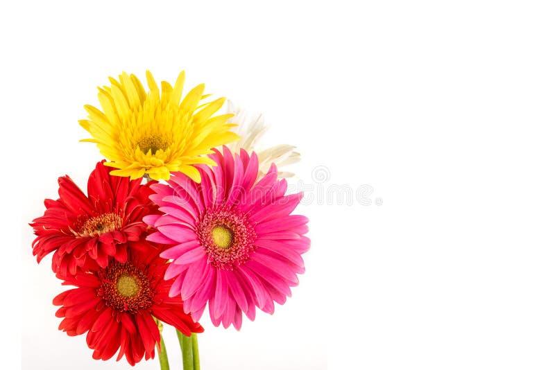 Multi gekleurde Gerbera-bloemen royalty-vrije stock afbeelding