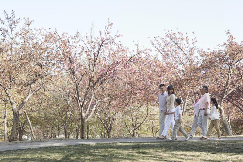 Multi-generational family taking a walk amongst the cherry trees in a park in springtime, Beijing royalty free stock images