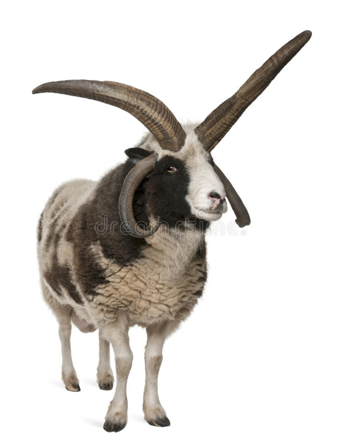 Download Multi-horned Jacob Ram, Ovis Aries Stock Photo - Image: 18257776