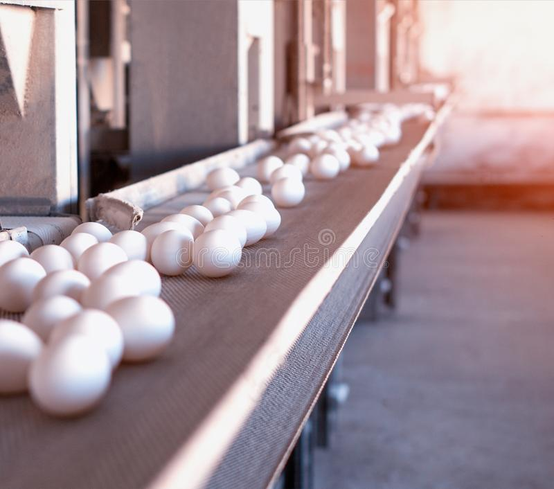 Multi-level conveyor belt with chicken eggs on a chicken farm, sun, transporter, copy space royalty free stock photography