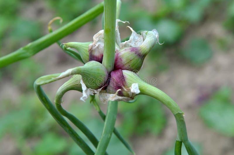 Multi-tiered onion Allium proliferum with air bulbs stock photos