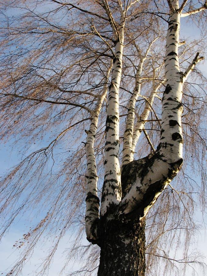 Multi-trunk birch in winter