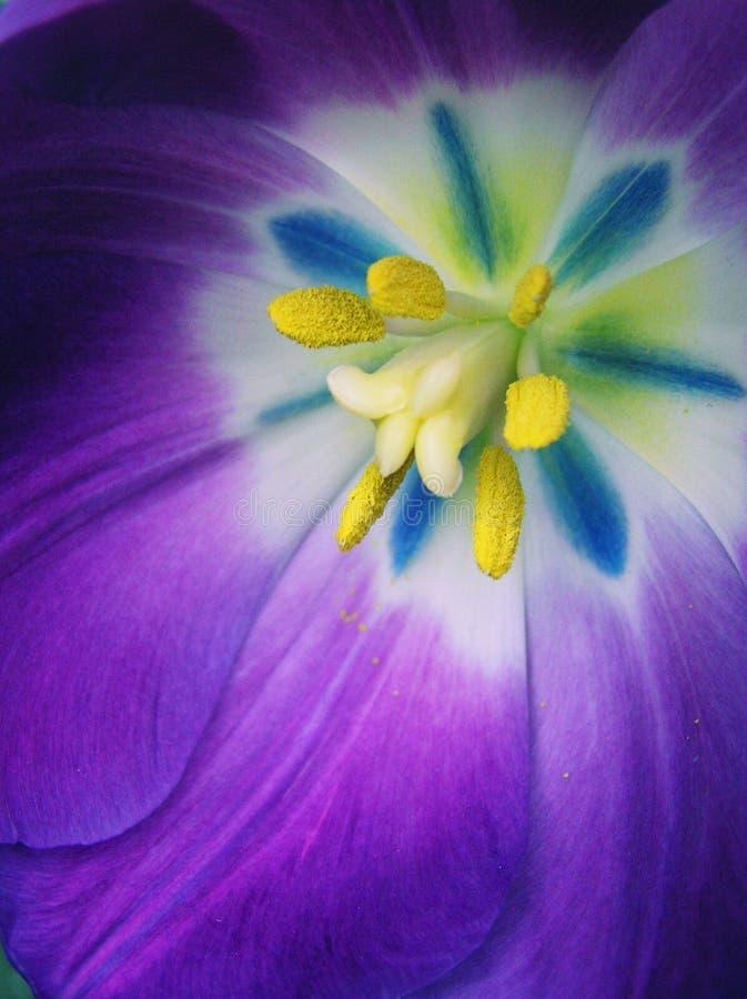 Multi Tulip colorido ultra brilhante fotografia de stock royalty free