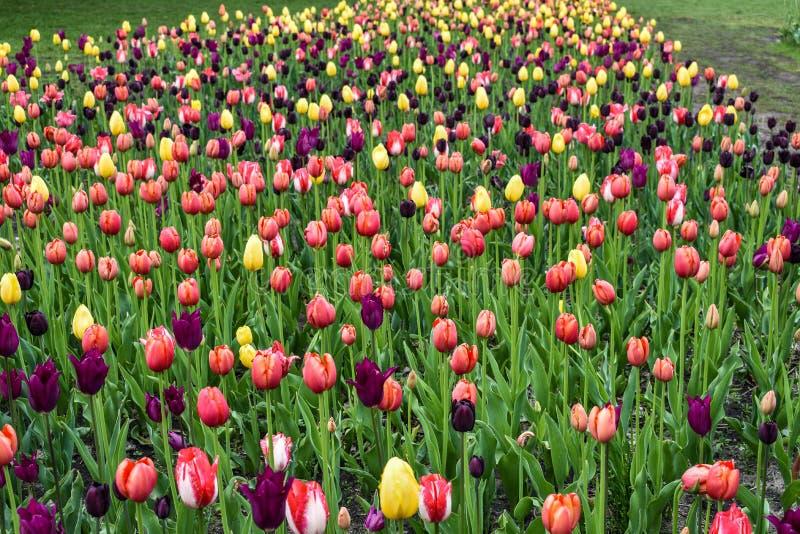 Multi tulipani colorati in un prato fotografia stock libera da diritti