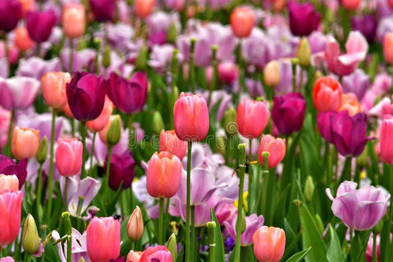 Multi tulipano colorato immagine stock libera da diritti