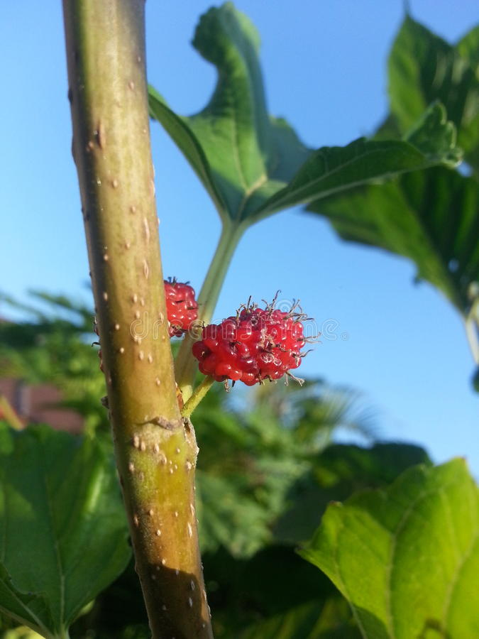 Multiberry se développent image stock