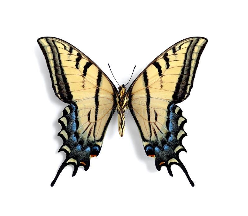 Multicaudata del multicaudata de Papilio (superficie inferior) foto de archivo