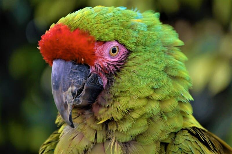 Multicolor ара стоковое фото