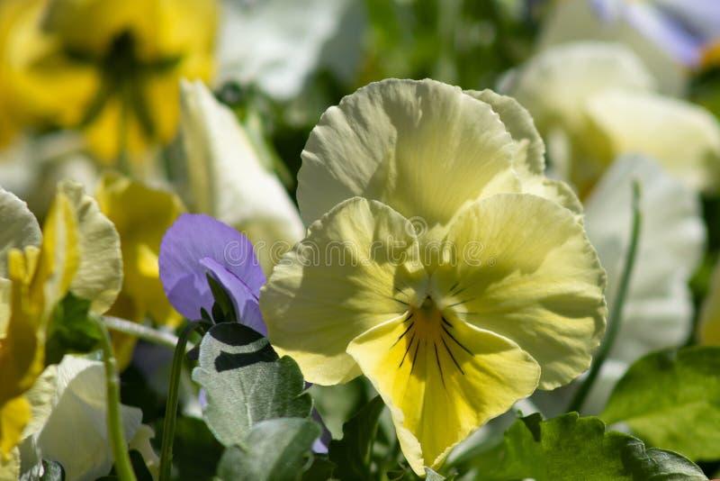Multicolor цветки или pansies pansy закрывают вверх как предпосылка или карта стоковые фотографии rf