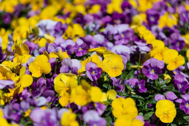 Multicolor цветки или pansies pansy закрывают вверх как предпосылка или карта стоковая фотография rf