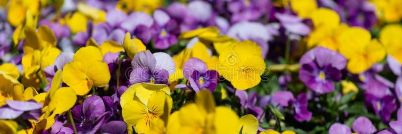 Multicolor цветки или pansies pansy закрывают вверх как предпосылка или карта стоковое фото