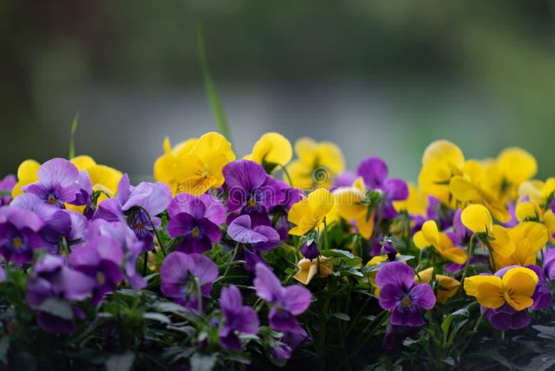 Multicolor цветки или pansies pansy закрывают вверх как предпосылка или карта стоковое фото rf