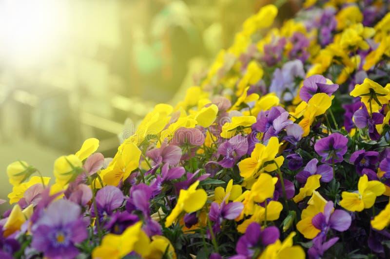 Multicolor цветки или pansies pansy как предпосылка или cardl стоковые изображения