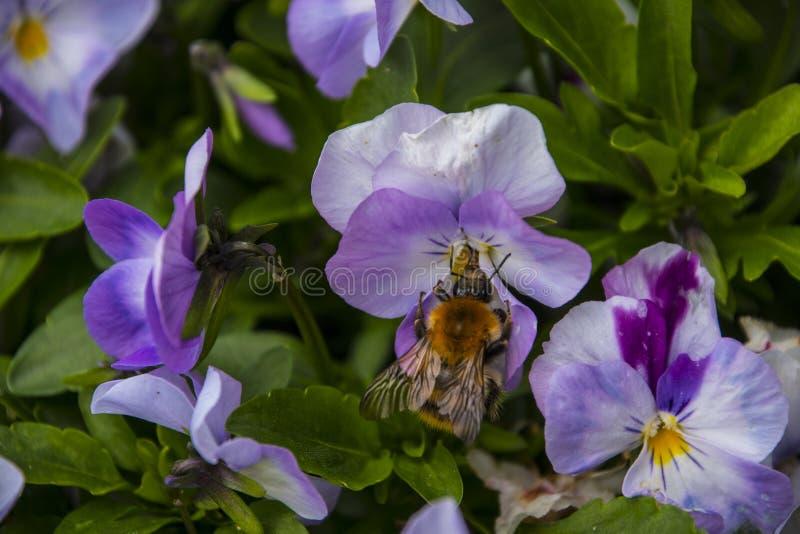 Multicolor цветки или pansies pansy с пчелой стоковая фотография rf