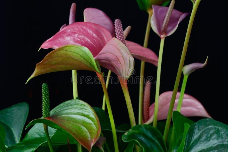 Multicolor anthurium flamingo flower. Close-up of multicolor anthurium flamingo flower. Macro photography of nature stock image