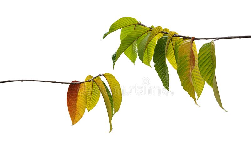 Multicolor autumn leaves or fall foliage on forest tree twigs nature layout isolated on white background, clipping path included stock image