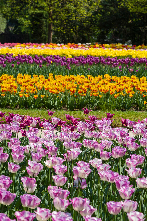 Multicolor field tulips stock images