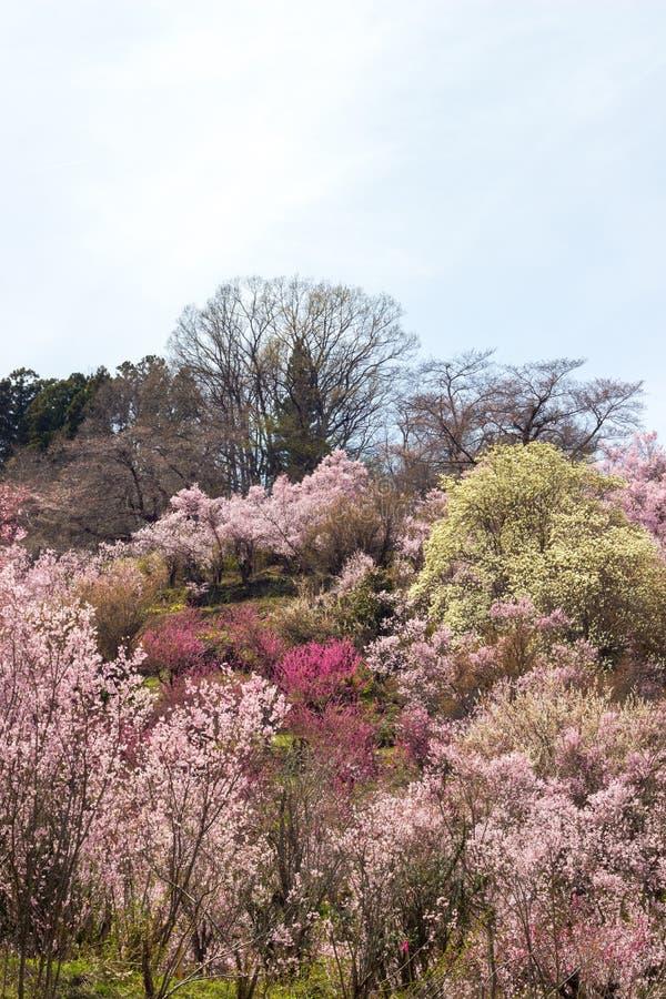 Multicolor flowering trees covering hillside ,Hanamiyama Park,Fukushima,Tohoku,Japan. royalty free stock images