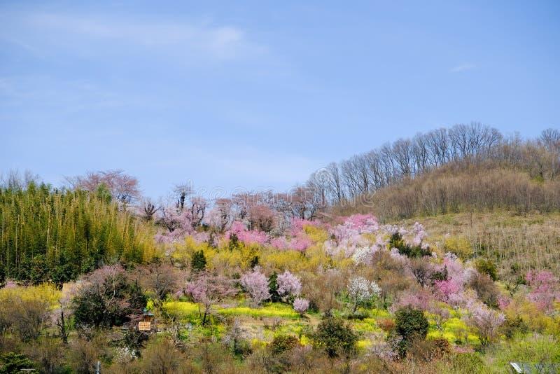 Multicolor kwiatonośni drzewa zakrywa zbocze, Hanamiyama park, Fukushima, Tohoku, Japonia zdjęcie stock