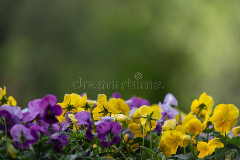 Multicolor pansy flowers or pansies close up as background or card stock images