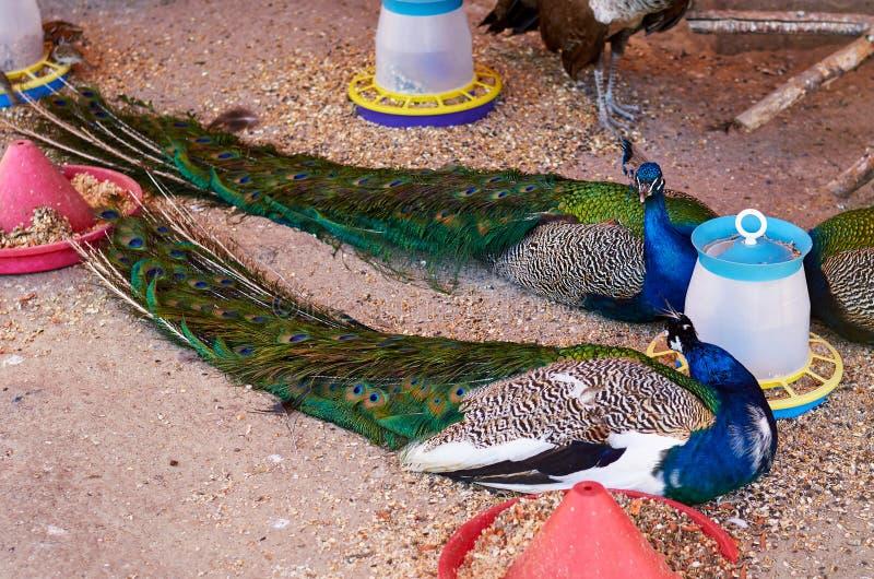 Multicolor peacock in the zoo park, beautiful bright rare bird. stock photo