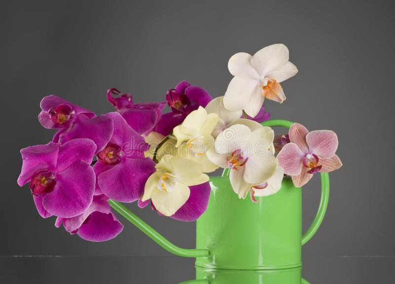 Multicolor Phalaenopsis Orchid Flowers In A Watering Can Stock Photography