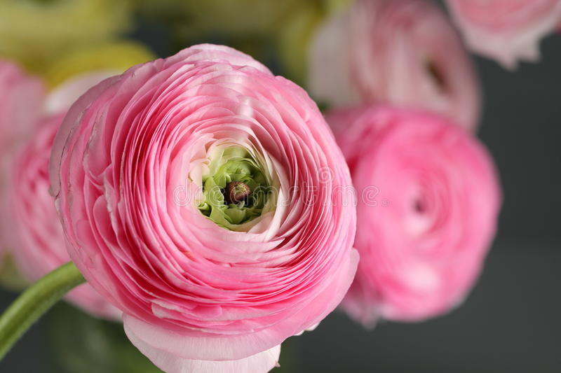 Multicolor pink buttercup, Ranunculus in the glass vase on the gray background. Multicolor buttercup, Ranunculus in the glass vase on the gray background royalty free stock photos