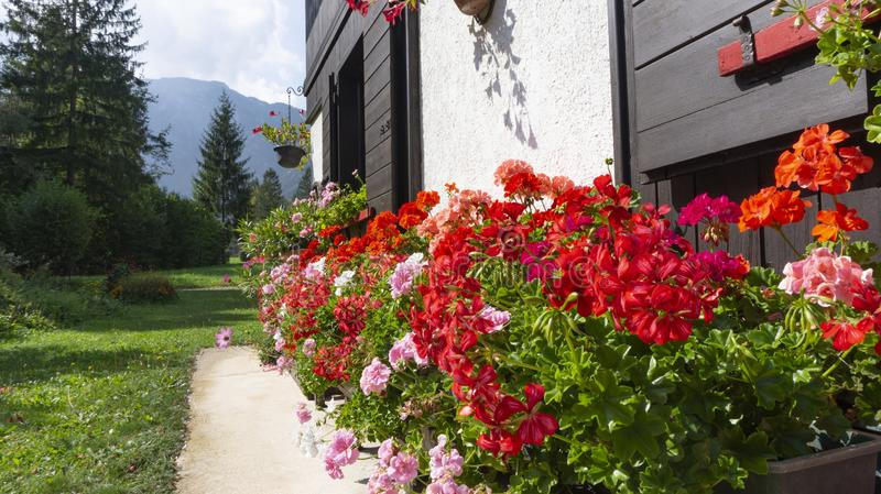 Multicolor red scarlet pink lilac geranium plants bloom magnificently under the wooden windows of a chalet in the Alps mountains. Colorful geranium plants bloom royalty free stock photos