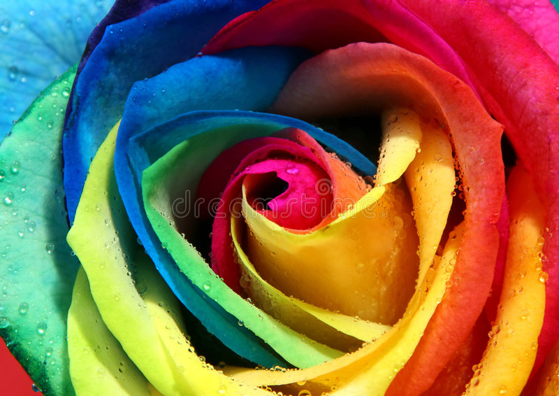 Download Multicolor rose stock photo. Image of drop, color, droplet - 1030532