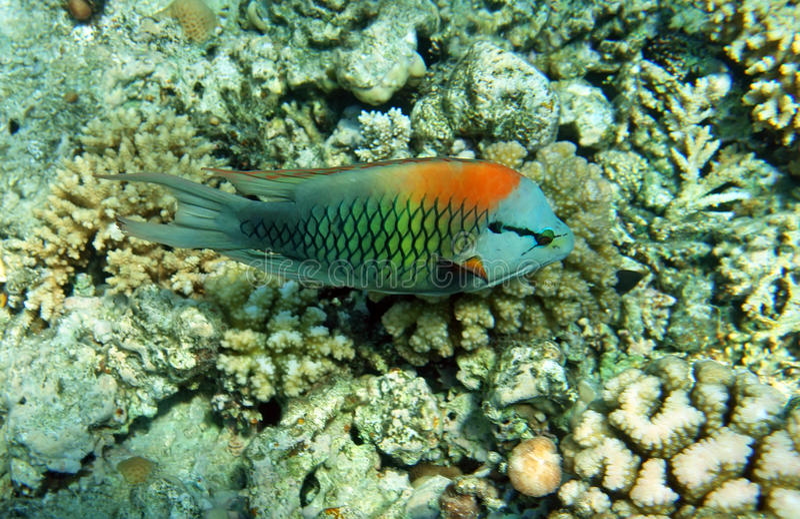 Multicolor slingjaw wrasse (male) stock photo