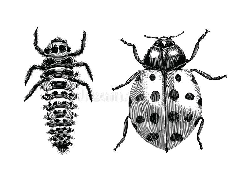 Multicolored Asian Lady Beetle,Larva and Adult lady beetle hand vector illustration