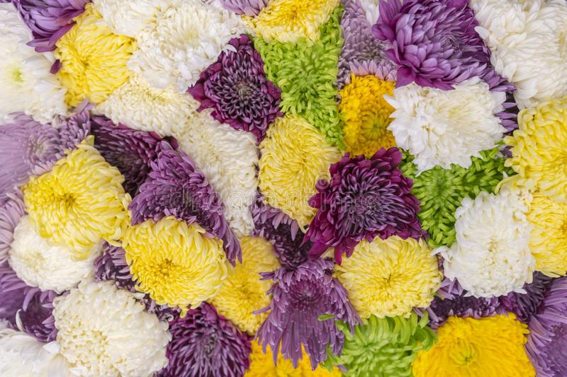 Multicolored Asters Background. Asters are multicolored, selective focus. Flowers Asters bright yellow, pale pink and white colors. Close-up royalty free stock image