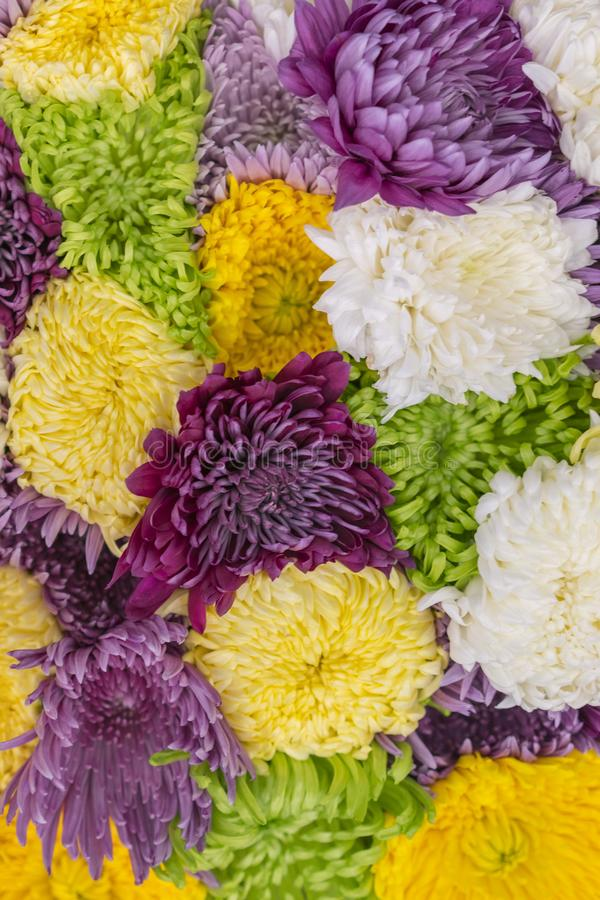Multicolored Asters Background. Asters are multicolored, selective focus. Flowers Asters bright yellow, pale pink and white colors stock photo