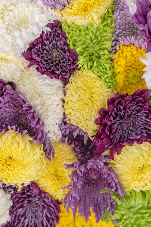Multicolored Asters Background. Asters are multicolored, selective focus. Flowers Asters bright yellow, pale pink and white colors. Close-up. vertical photo stock images