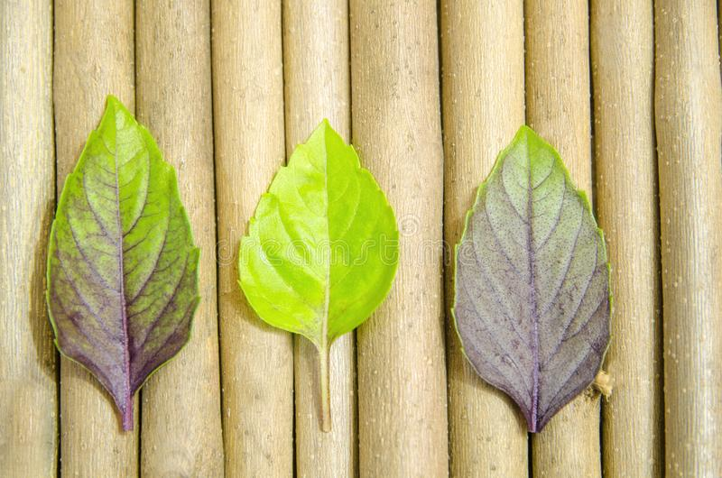 Multicolored basil leaves. royalty free stock photo