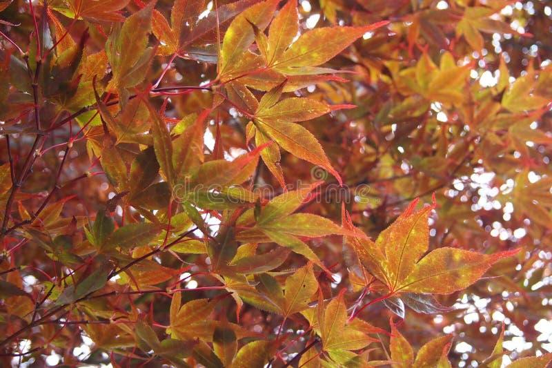 Multicolored bladeren van de de herfstesdoorn stock afbeelding
