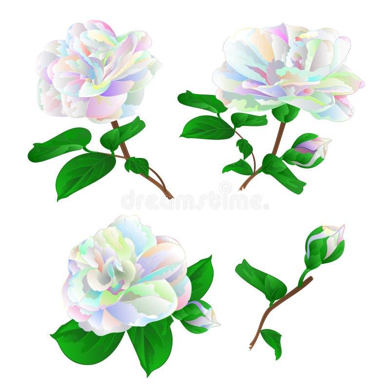 Multicolored bloem Camellia Japonica met knoppen plaatste op een witte uitstekende vector editable illustratie als achtergrond stock illustratie