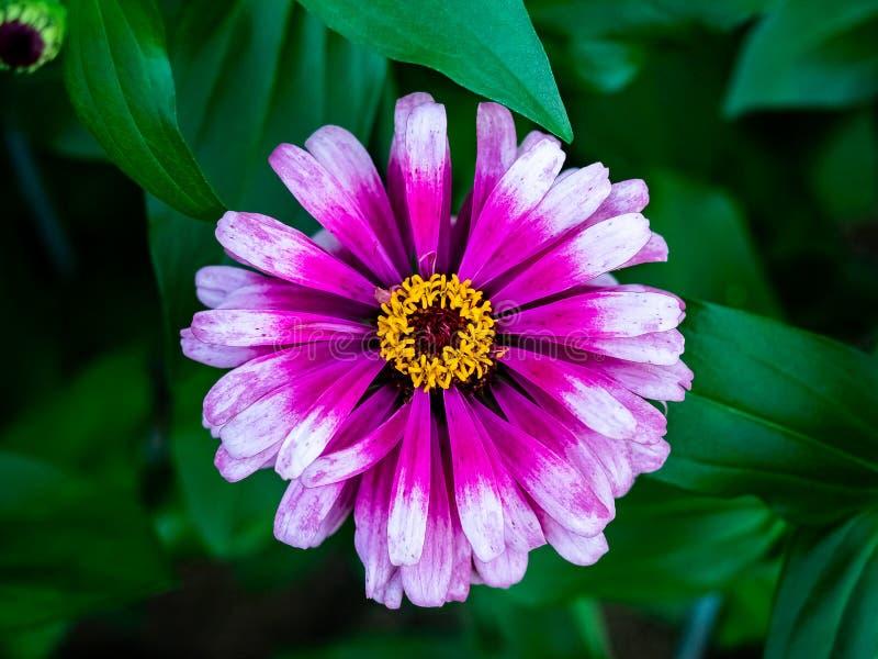 Multicolored bloem van Zinnia in bloei stock afbeelding