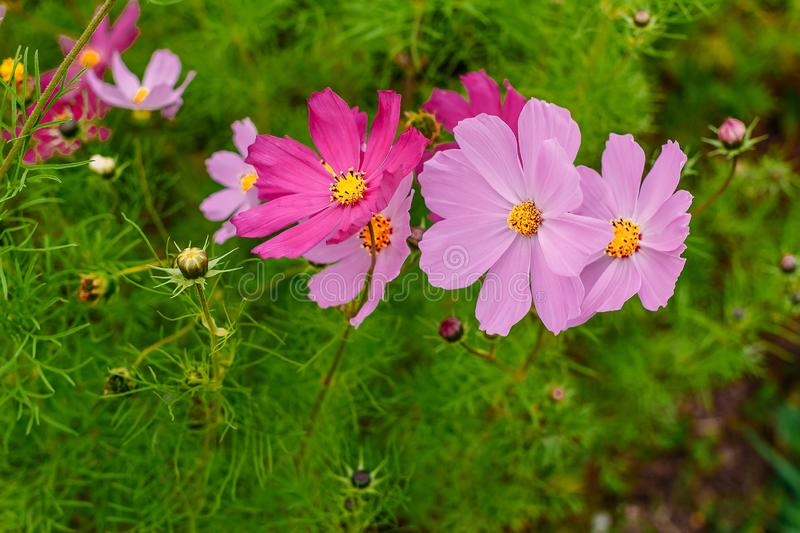 Multicolored blooming daisies close stock photos