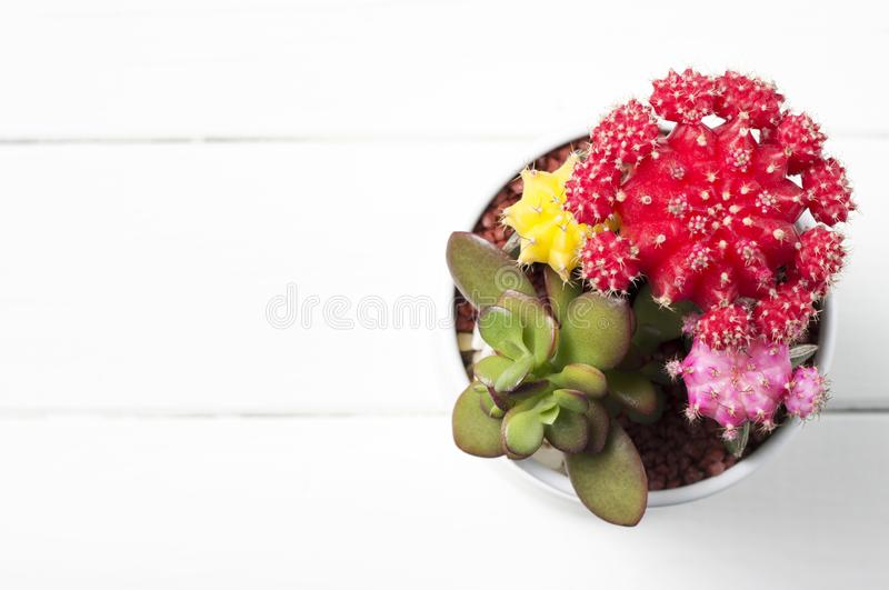 Multicolored cactus and succulent in a pot, isolated on white background, top view stock photo