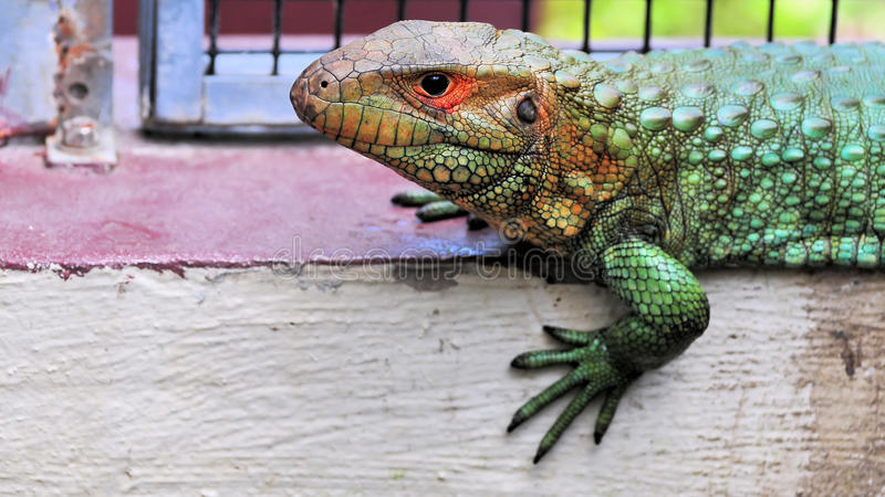 Multicolored Caiman Lizard royalty free stock image
