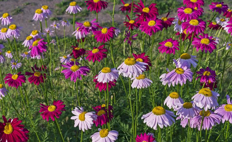 Multicolored daisies on a background of green grass. Color camomiles in the city garden royalty free stock photo
