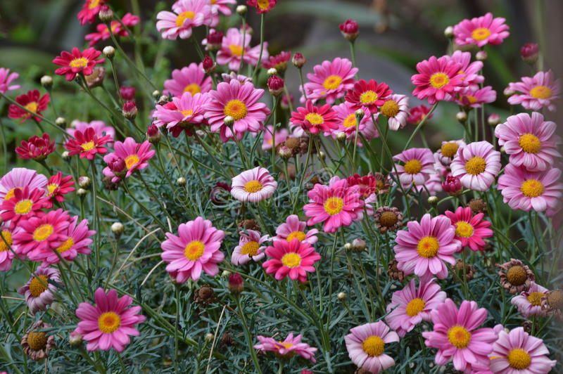 Multicolored Dasies stock images