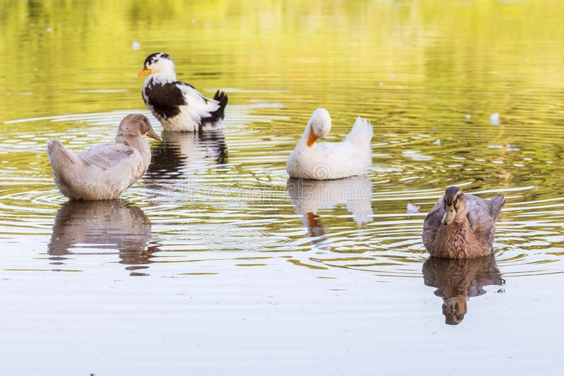 Multicolored ducks float along the river`s water in sunny weather_ stock image