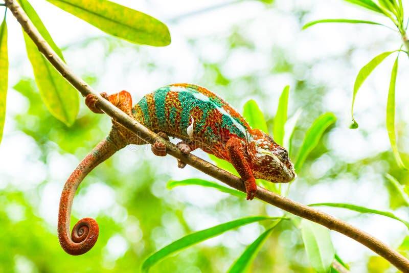 Multicolored exotische cameleon op de tak in het regenwoud stock foto's