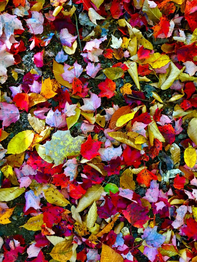 Multicolored fall leaves in Central Maine stock photography